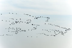 Flocks of cranes moving on the sky Royalty Free Stock Image