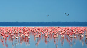 Flocks of flamingo Stock Photos
