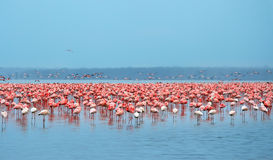 Flocks of flamingo. Africa. Kenya. Lake Nakuru stock image