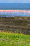 Flocks of flamingo. Africa. Kenya. Lake Nakuru stock photos