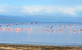 Flocks of flamingo Royalty Free Stock Image