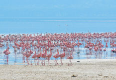 Flocks of flamingo royalty free stock images