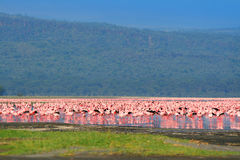 Flocks of flamingo. Africa. Kenya. Lake Nakuru stock images