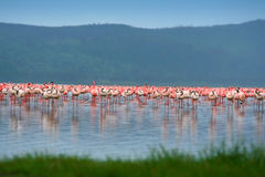 Flocks of flamingo. Africa. Kenya. Lake Nakuru royalty free stock image