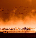 Flocks of flamingos in the sunrise Stock Images