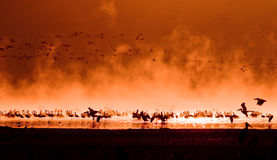 Flocks of flamingos in the sunrise stock photos