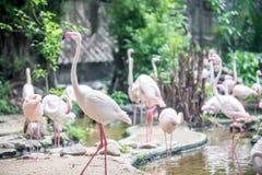 Flocks of flamingos stock image