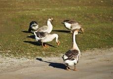 Flocks of geese, goose, gander Royalty Free Stock Image