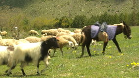 Flocks in grass HD 1080i stock video