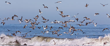 Flocks of Ocean Sea Birds Feeding Panoramic View Royalty Free Stock Photos