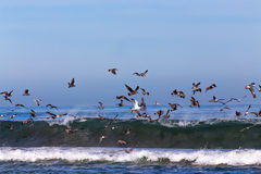 Flocks of Ocean Sea Birds Feeding Royalty Free Stock Photo