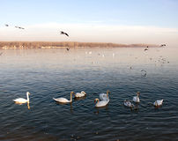 Flocks Of Swans And Pigeons On The Danube River Royalty Free Stock Images