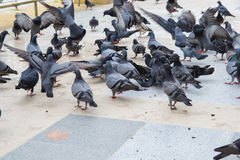 Flocks of pigeons are eating Stock Photography