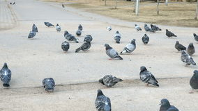 Flocks of pigeons in urban park. In spring stock video footage