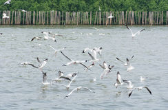 Flocks of Seagull in flight on water Royalty Free Stock Photo