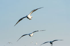Flocks of Seagull under blue sky Stock Photos