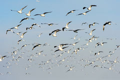 Flocks of Seagull under blue sky Royalty Free Stock Images