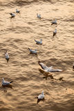 Flocks of Seagull on water Stock Image