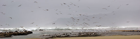 Flocks of seagulls flying along the coastal sand beach Stock Images
