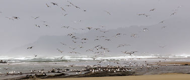 Flocks of seagulls flying along the coastal sand beach Stock Photo
