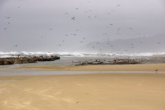 Flocks of seagulls flying along the coastal sand beach Stock Image