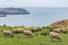 Flocks of sheep graze in the fields with spectacular ocean views Royalty Free Stock Photography