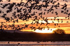 Snow Geese in Flight Silhouetted Royalty Free Stock Photo