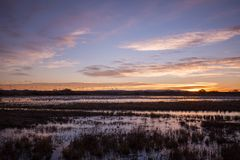 Snow Geese Flying at Sunrise Stock Photo