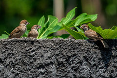 Sparrows on a wall stock photo image of plumage beaks 18472476 sparrows perched on a wall stock photos thecheapjerseys Gallery