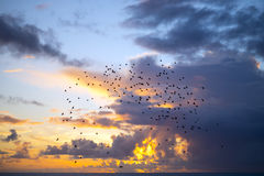 Flocks of starlings flying into a blue yellow sunset sky Stock Photography
