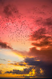 Flocks of starlings flying into a red yellow sunset sky Royalty Free Stock Photography