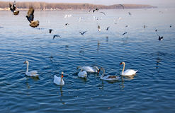 Flocks of swans and pigeons on the Danube River royalty free stock photo