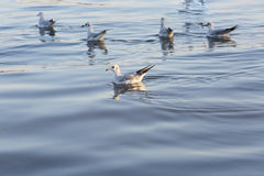 FlockSeagulls som vilar på vattenyttersidan Arkivbild