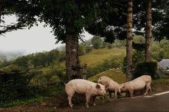 Flocksvin på sida av vägen arkivfoto