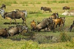 flockwildebeest royaltyfri foto