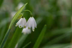 Flocon de neige de ressort Vernum de Leucojum photos stock