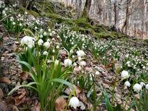 Flocos de neve da mola na floresta Fotografia de Stock
