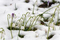 Flocos de neve e açafrão da mola na neve Imagens de Stock Royalty Free