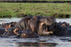 flod för chobeflodhästpöl Arkivfoto
