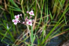 Flod för rosa och vita blommor Royaltyfri Foto