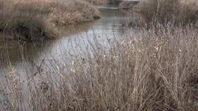Flod i hösten i skogen, gul vass som svänger med vind lager videofilmer