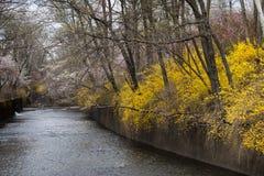 Flod i vår med forsythia Royaltyfria Foton