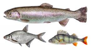 Flod isolerad fiskuppsättning, sittpinne, braxen, regnbågeforell arkivfoton