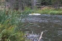 Flod med Cattails Arkivbild