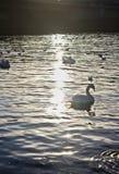 flod med svanar royaltyfria foton