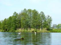Flod, svanar och härliga träd, Litauen arkivfoton