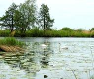 Flod, svanar och h?rliga tr?d, Litauen royaltyfria foton