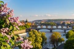 Flod Vltava med broar i Prague, träd i förgrunden, Tjeckien Arkivfoton