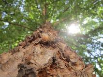 Flodbjörkträd till solen royaltyfria bilder