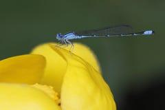 FlodBluet Damselfly som sätta sig på en lilja för gult damm Arkivbilder